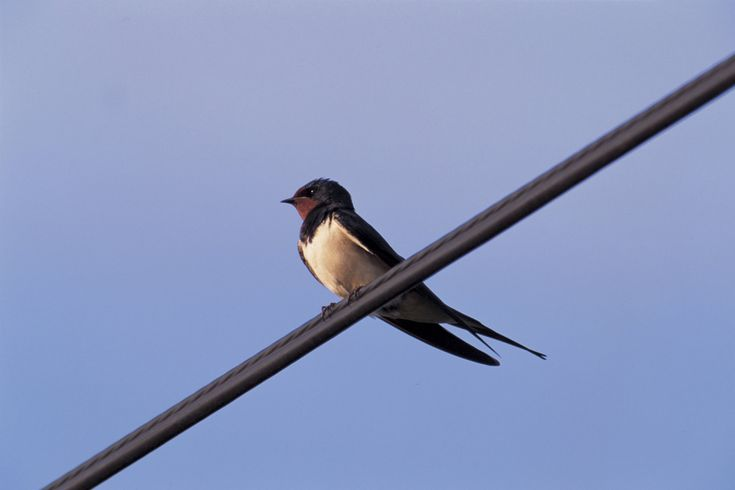 Migrating swallows cover 200 miles a day, mainly during daylight, at speeds of 17-22mph. The maximum flight speed is 35mph.Find out more