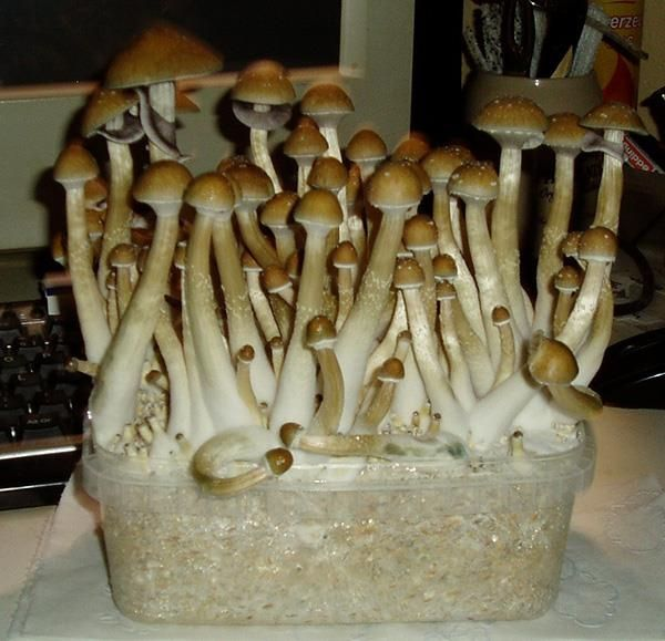 Growkit - Golden Teacher - magic mushrooms | Flickr - Photo Sharing!