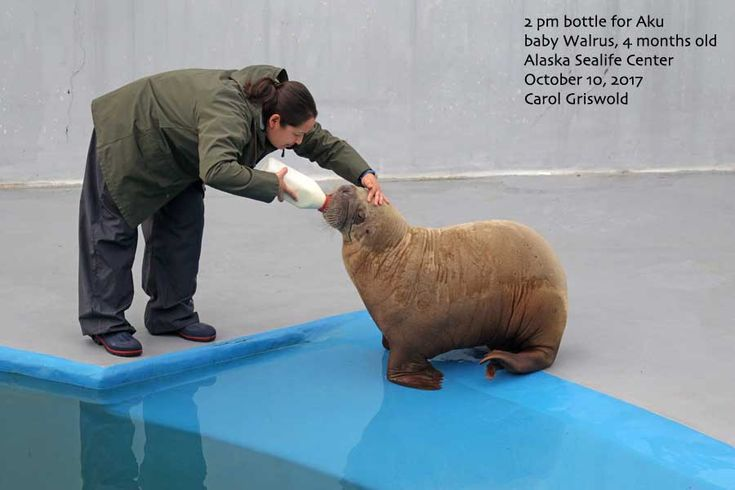 Baby walrus update – Seward City News