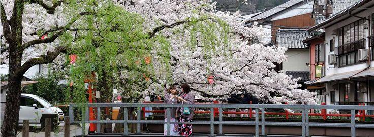 Cherry blossom season in Kinosaki onsen hot spring town