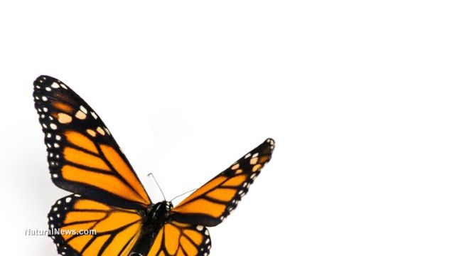 52 Congress members sign letter warning of GMOs killing monarch butterflies! Believe it or not! Finally, some positive action to a very sad fact...