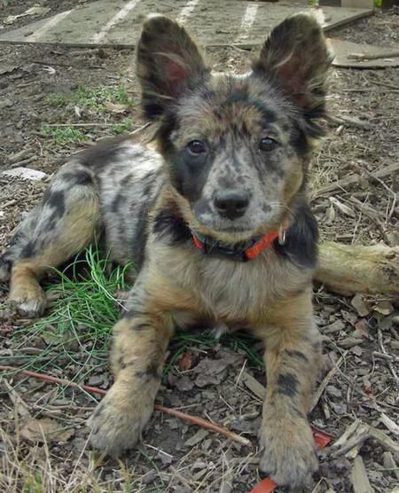 I want my first puppy to look something this (Australian cattle dog mixed with an Australian shepherd)