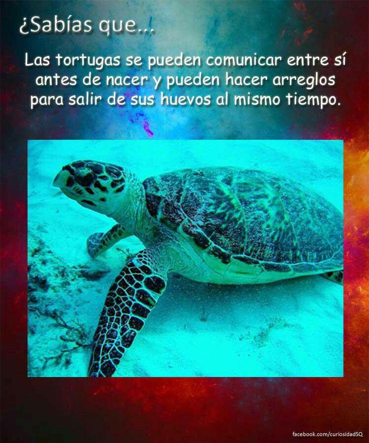 ¿Sabias Que? Las tortugas