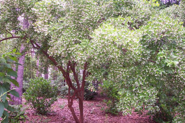 American Bladdernut Tree Staphylea Trifolia By RM Lyon