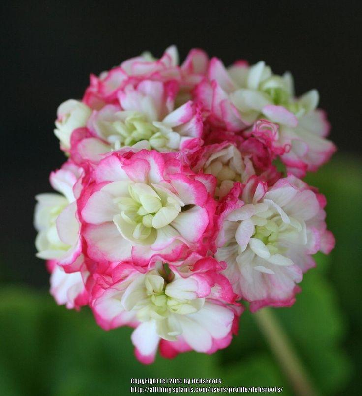 Photo of Zonal Geranium (Pelargonium x hortorum 'Appleblossom Rosebud') uploaded by debsroots