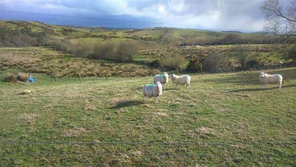 Land At Knockasproha - Westport #forsale #site #landandsite #propertynewsni #sheep