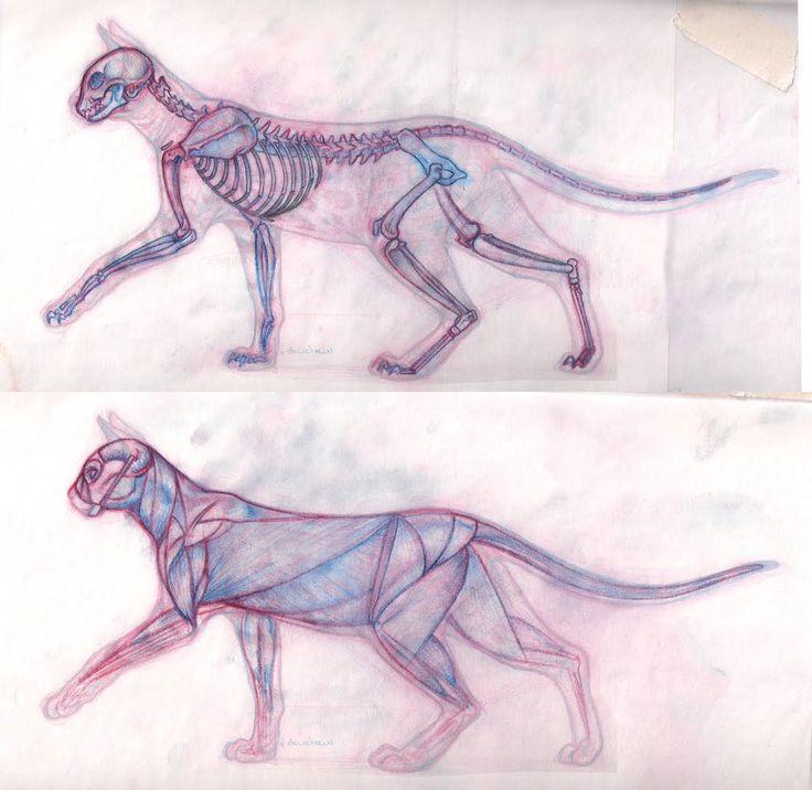 cat muscle anatomy