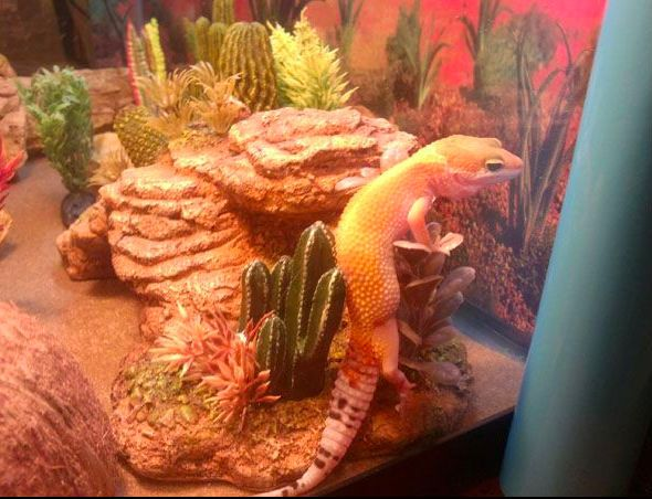 Your First Leopard Gecko?  What you should expect when you get one.