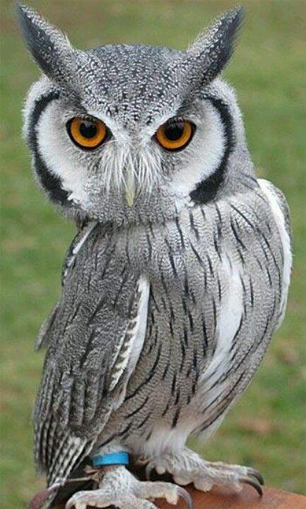 White Face Scops Owl aka Transformer Owl