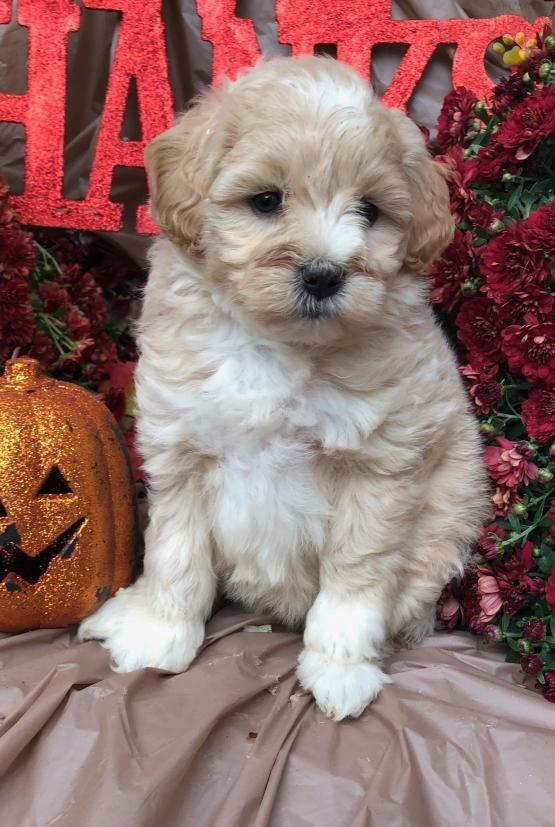 Maddie - Mini Goldendoodle Puppy for Sale in conowingo, MD