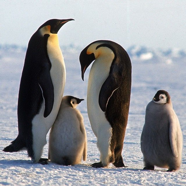 Emperor Penguins in Antarctica, 1964. (Michael Rougier—The LIFE Picture Collection/Getty Images) #wildLIFEwednesday