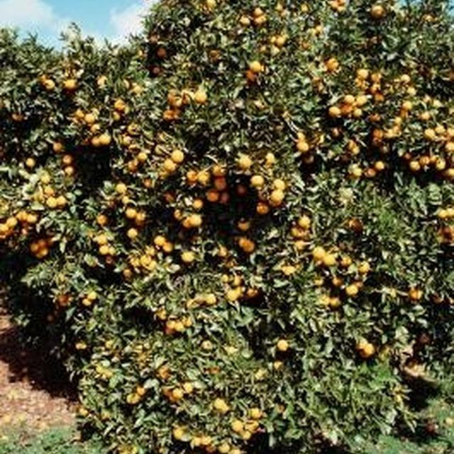 Citrus trees can benefit from homemade fertilizers.