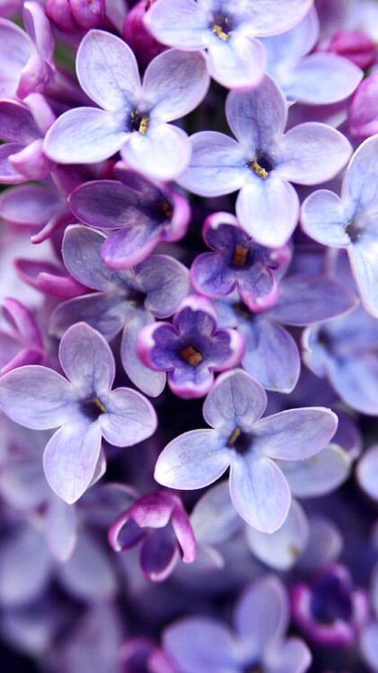 Purple Flowers IPhone Background IPhone Backgrounds Pinterest