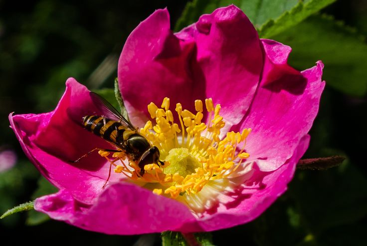 Hard-working bee on a flower in Lake Thorenc Park Une abeille qui butine sur une fleur dans le parc du Lac Thorenc (France)