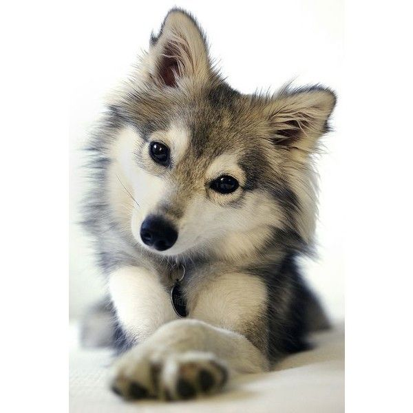 "Miniature Siberian Husky | DOG""S!!!!! yes they rate it 