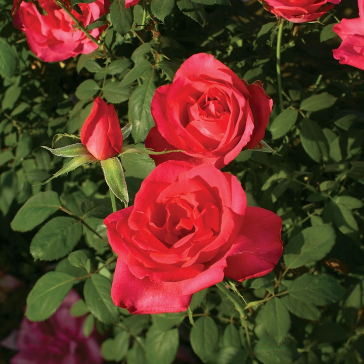 346 Best Garden Roses Images On Pinterest Beautiful