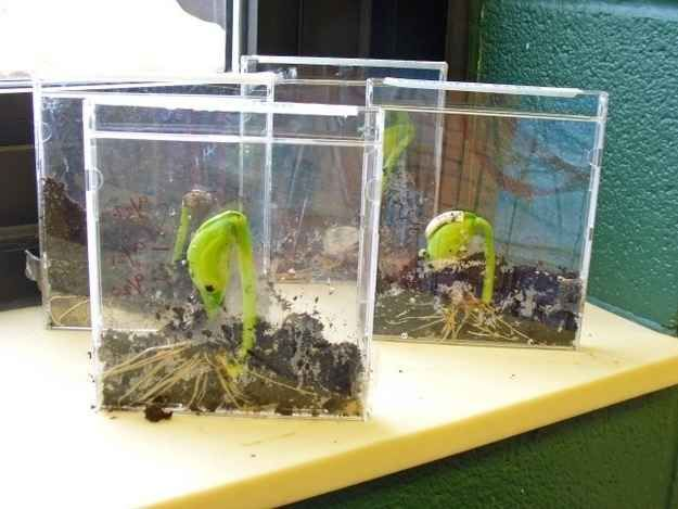 Get rid of your old CD cases by growing bean plants in them.