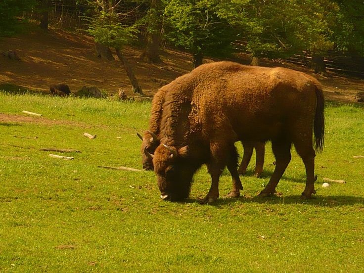 5 Unique Places to visit in Romania: The European Bison Reservation in Hateg