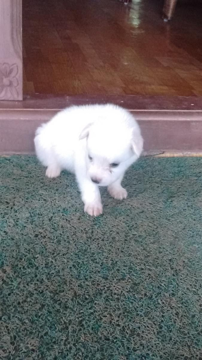Pomeranian Puppies For Sale Thrissur Kl 99216 Best Quality White Pomeranian Dog Galiff Street Pet Mar In 2020 Pomeranian Puppy For Sale Pomeranian Puppy White Puppies