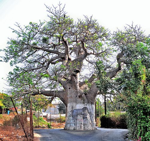 Baobab Tree, Dakar, Senegal