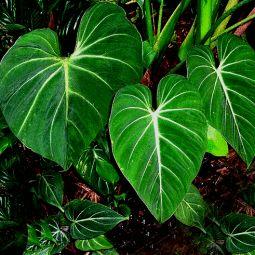 Philodendron gloriosum.gif