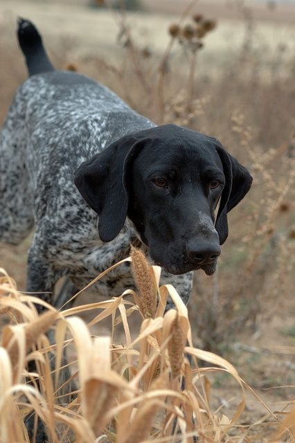 German Shorthaired Pointer puppy for sale near Flint ...  |Black Ticked German Shorthaired Pointer Puppies