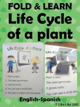 Life cycle of a plant Fold & Learn  English & Spanish