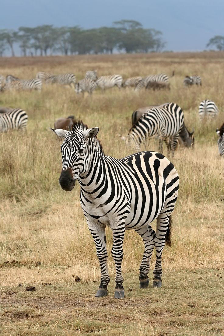 The plains zebra (Equus quagga, subspecies Grant's zebra pictured) is the most common and geographically widespread species of zebra. It ranges from the south of Ethiopia through East Africa to as far south as Angola and eastern South Africa. It is mid-sized, smaller on average than the other two zebra species, thick-bodied with relatively short legs. Adults of both sexes stand from 3.6 to 4.8 ft high at the shoulder, with males slightly heavier than females
