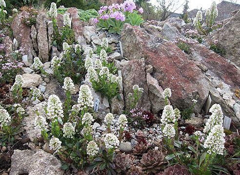 на альпийской горкеСад Светланы Полонской, ярутка голубоватая в апреле