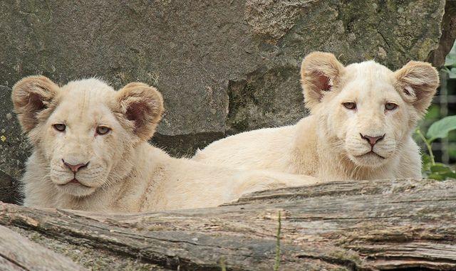 witte leeuwen Ouwehands IMG_0227 | Flickr - Photo Sharing!