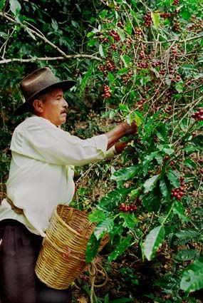 Don Vincente harvesting organic coffee in Oaxaca, Mexico.  Photo credit: Josef Polleross