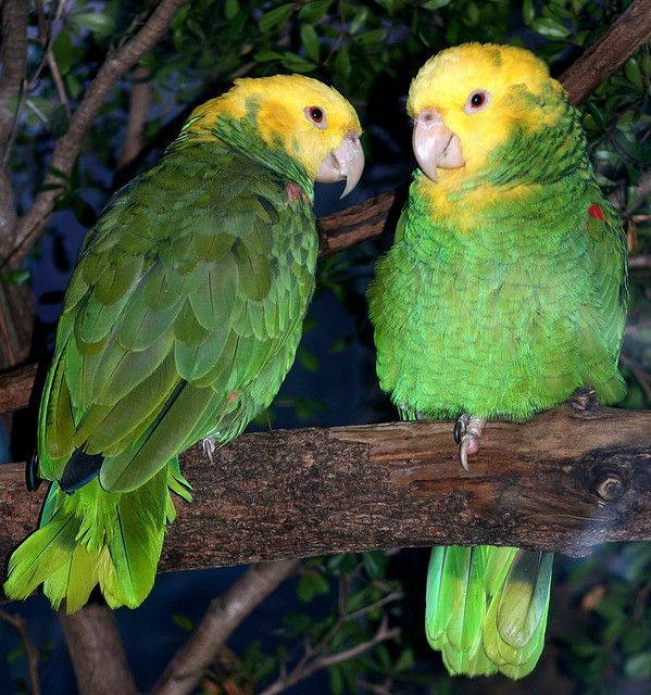 ... about Birds on Pin... Yellow Parakeet With Red Eyes