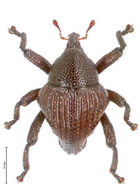 Trigonopterus trigonopterus aus West Borneo. Artname und Gattungsname sind...