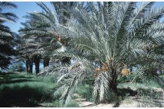 How to Care for a Robellini Palm (4 Steps) | eHow
