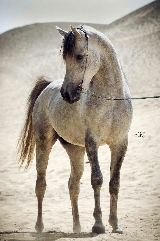 Beautiful dappled grey Arabian.
