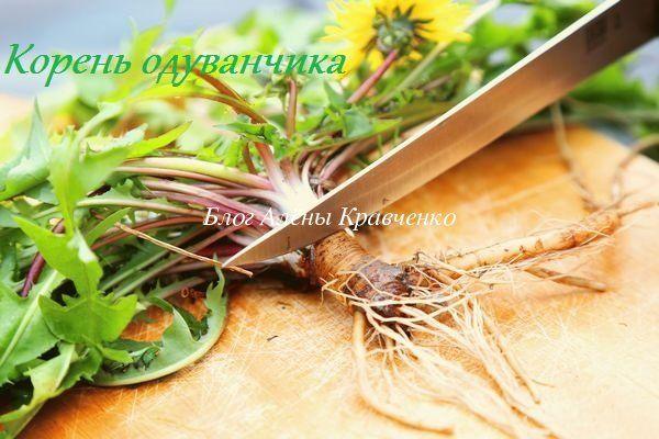 Корень одуванчика. Полезные свойства и противопоказания. Применение корня одуванчика, лечение. Как приготовить настойку, настой, отвар, чай, мазь и порошок из корней. Как заготовить корень одуванчика, когда?