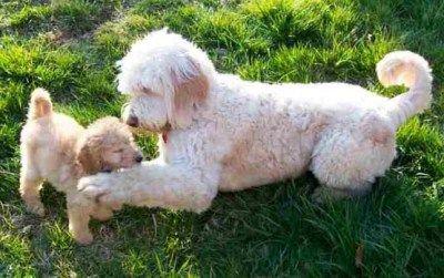 Poodle Mix - Poodle Hybrids- Designer Dogs