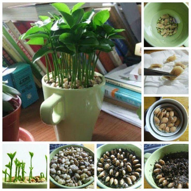 Plante sementes de limão e deixe sua casa super cheirosa!  - deixe as sementes de molho na água, retire com cuidado a pele que envolve as sementes, coloque em um vaso ou xícara como na imagem, deixe crescer em um local que pegue sol, suas folhas tem um perfume ótimo.