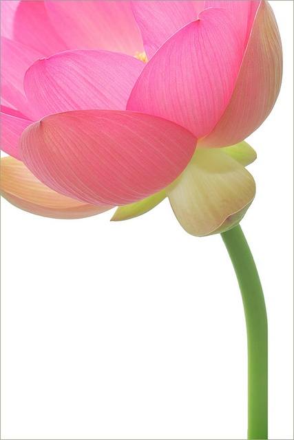 Pink Lotus flower - ©Bahman Farzad / lotusflowerimages.com (via flickr)