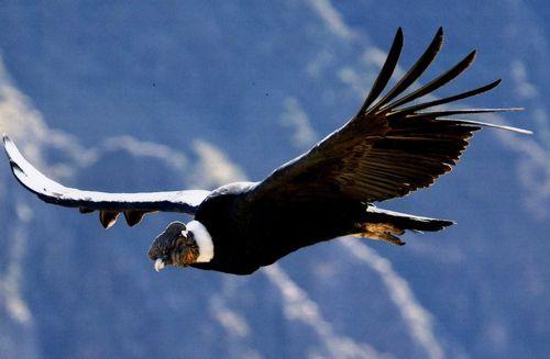 EL CÓNDOR  (Animales de la Sierra del Perú): Condor Andino, 2014 Condor, Condor Dos, Andean Condor, Condor De, Ave De, Animal Friends, Del Condor, Cruz Del