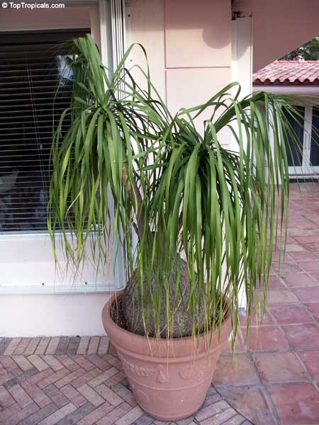 ponytail palm aka bottle palm elephant foot tree