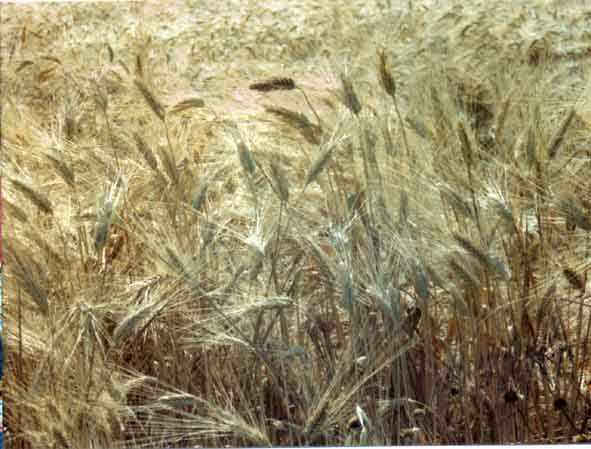 A history of wheat - where does wheat come from?