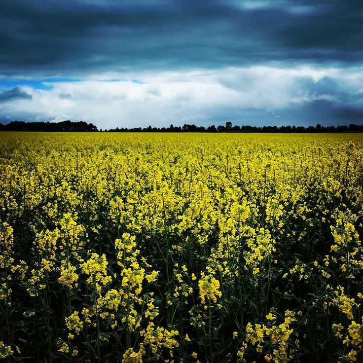 #canola on way to #warrnambool  #colours #colourpop #fields #australia #victoria #wowaustralia  #pentax #pentaxk3 #pentaxian #pentaxiansunite #sigma #sigmamoments #yellow #skies by michelleoneill