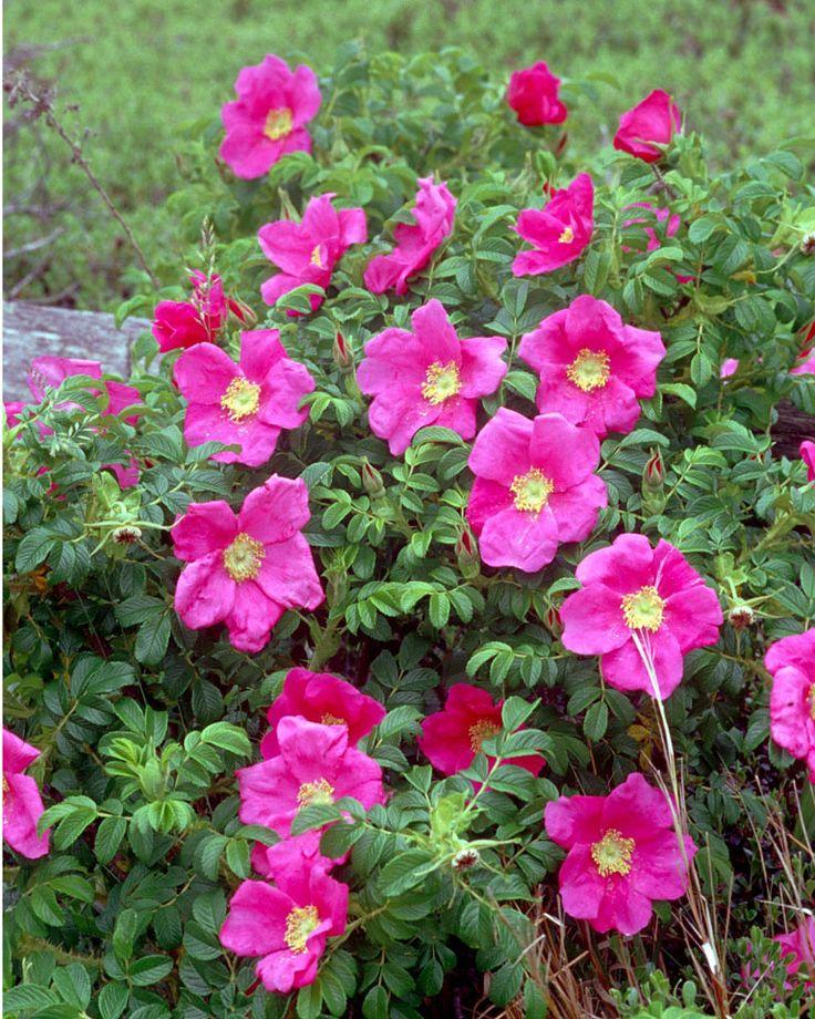 Beach Roses, Marconi Beach, Welfleet (Cape Cod), MA