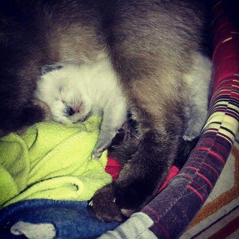 #siamesethai #gatti #gatto #thai #animali #cuccioli #cat #cats #cute