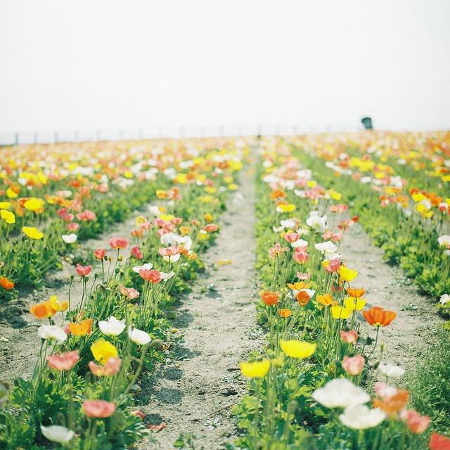 icelandic poppies: Kajico, Flowers 3, Beautiful Flowers, Places, Flower Fields, Photo, Garden