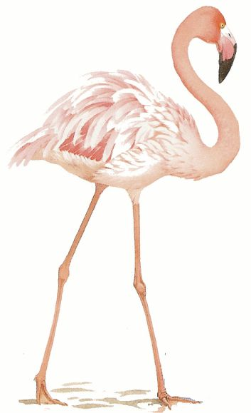 Animaux Flamant Rose Themes Dessins References Flamant
