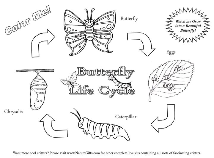 Butterfly Life Cycle Coloring Pages