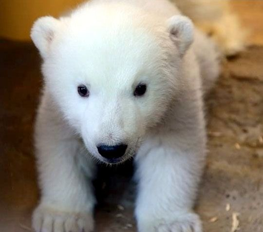 Bremerhaven Zoo new polar bear cub loves to scream and cuddle with mom
