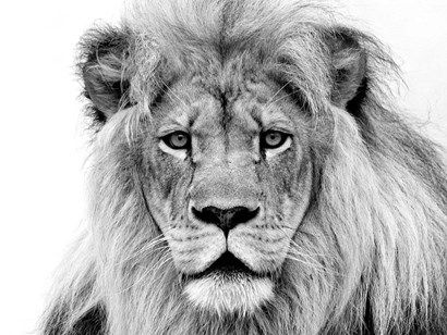Male Lion by William Franklin   – Tattoo